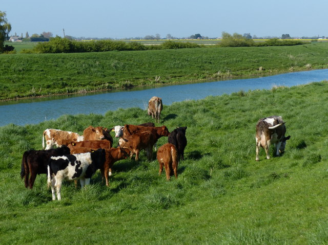 Herd of cows along the River Glen