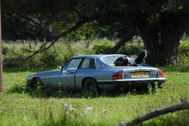Jaguar XJ-S and goat