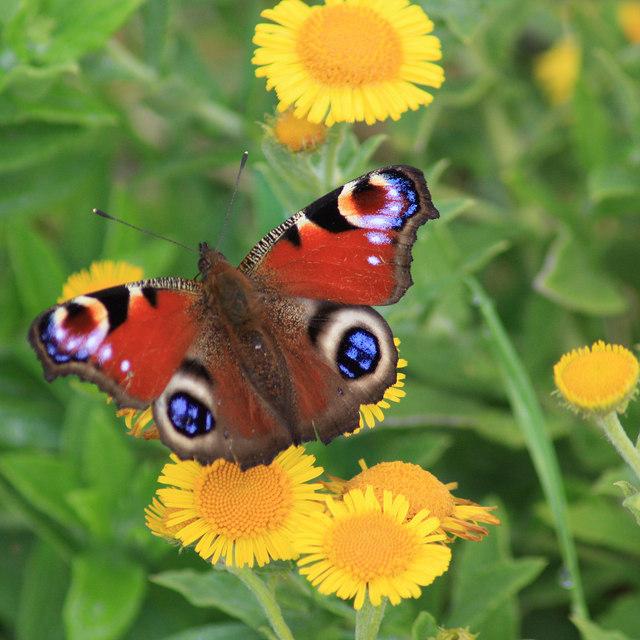 Peacock butterfly on fleabane