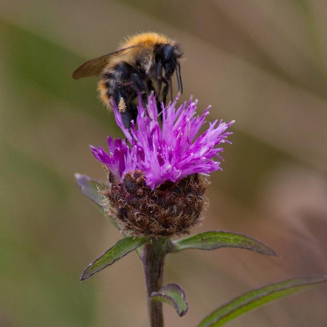 Bee feeding on Knapweed
