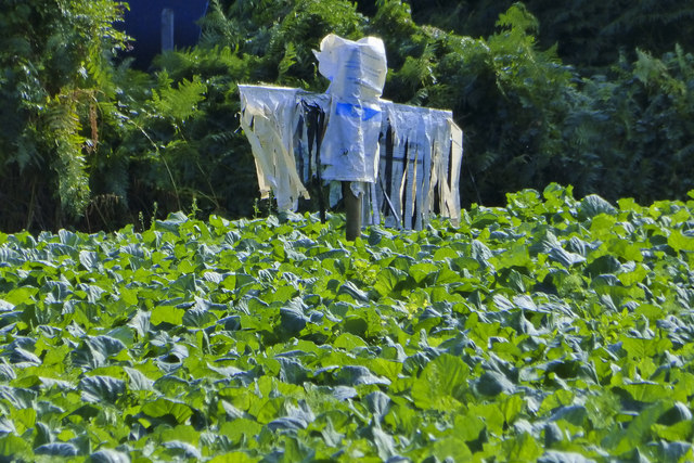 Scarecrow in a field of Cabbages
