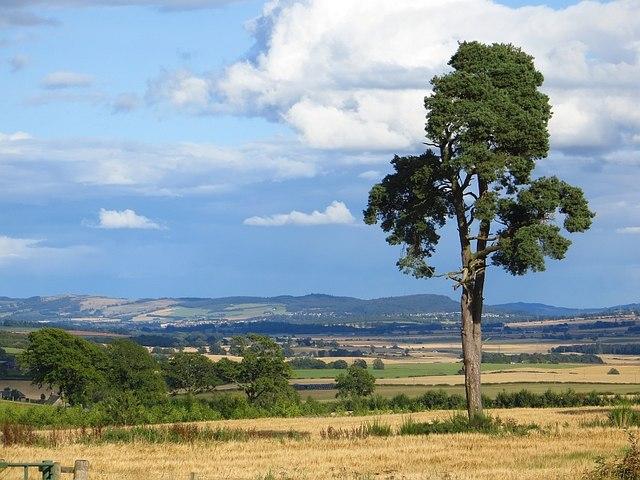 Lone pine, Keillour