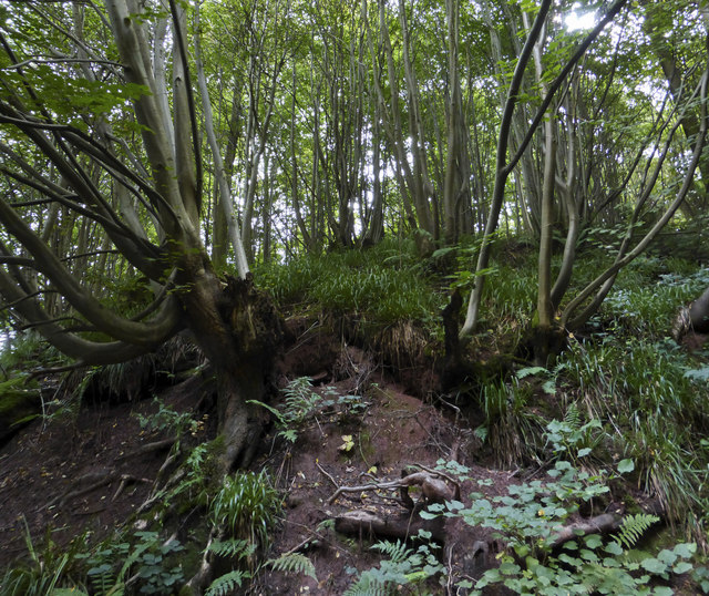 Ancient coppiced woodland in Shrawley Wood