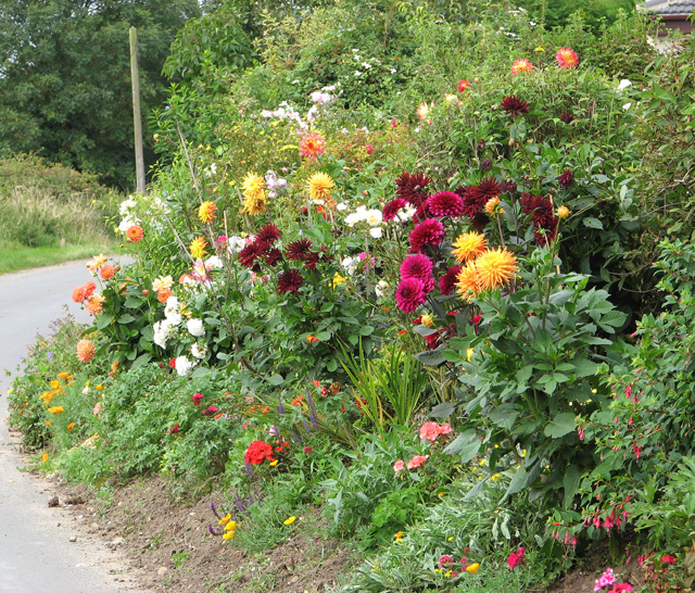 Colourful dahlias in Church Road