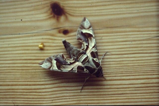 Oleander Hawk-moth (Daphnis nerii), Baltasound