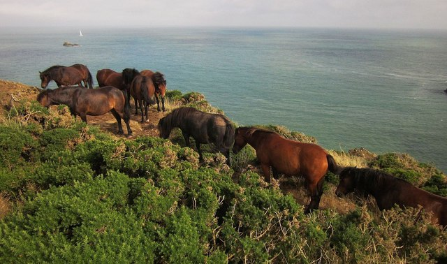 Ponies on the coast path