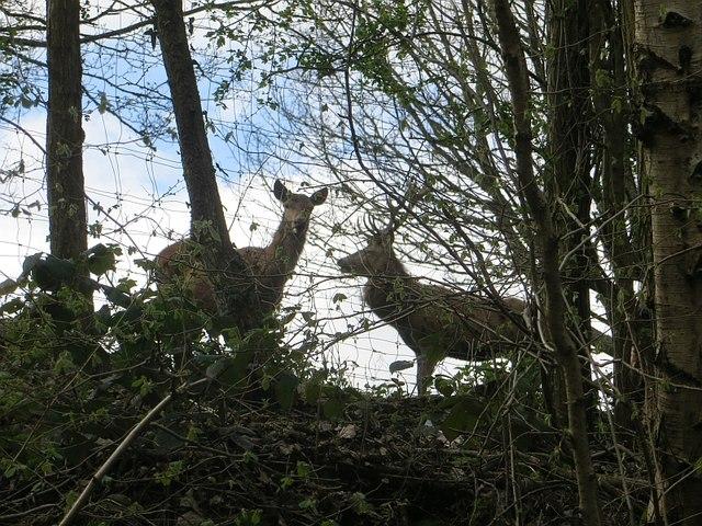 Deer, Rays