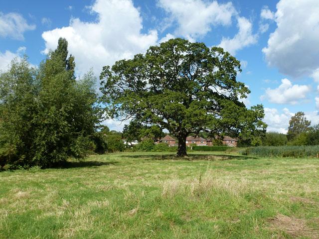 A stately oak