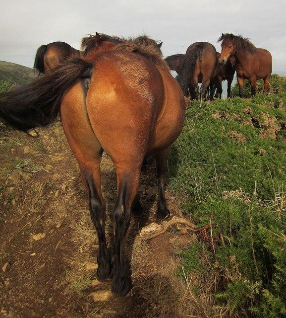 Ponies on the coast path