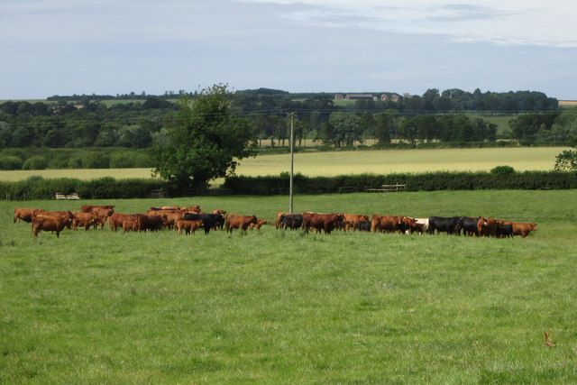 Beef  cattle  in  a  very  large  field