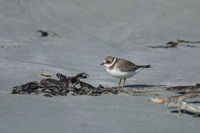 Ringed Plover on Easting beach