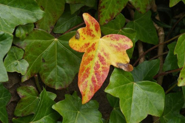 A single autumnal ivy leaf, Halligarth, Baltasound