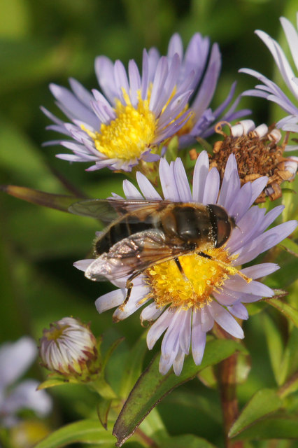 The hoverfly Eristalis pertinax, Baltasound