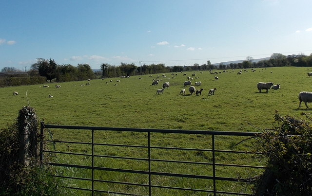 Sheep in a field on the North Somerset Levels