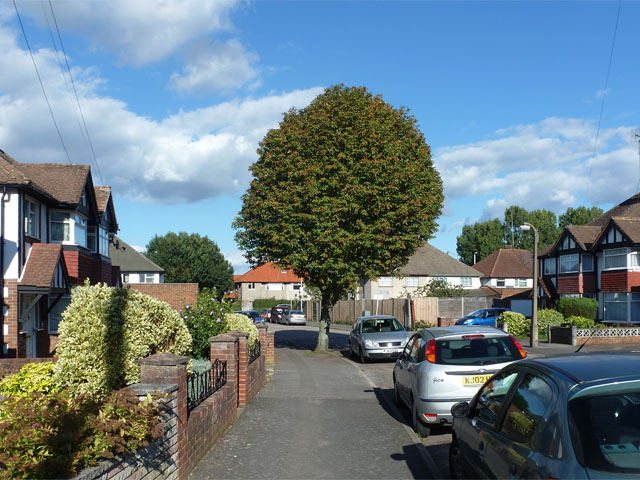 A rounded street tree