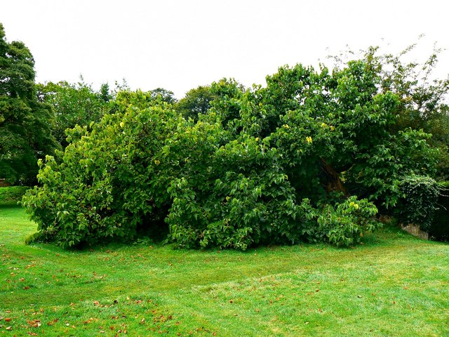 Horizontal mulberry tree, Chastleton House, Chastleton, Oxfordshire
