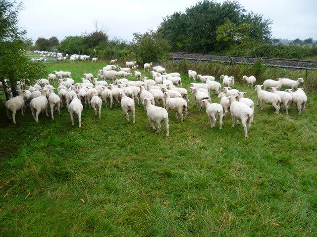 Sheep on Romney Marsh