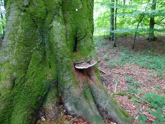 Tree fungus in Closedown Wood