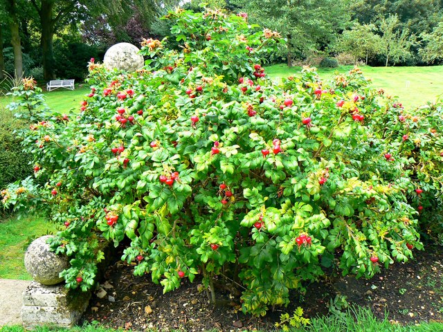 Rosa rugosa bush, Chastleton House, Chastleton, Oxfordshire