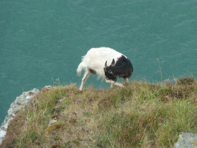 Balancing goat, Valley of Rocks