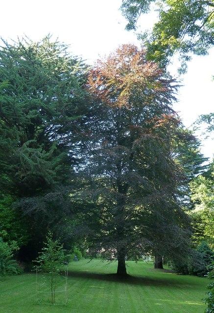 Copper Beech, Chambercombe Manor garden