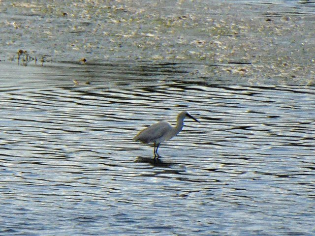 Little Egret on Edderthorpe Ings