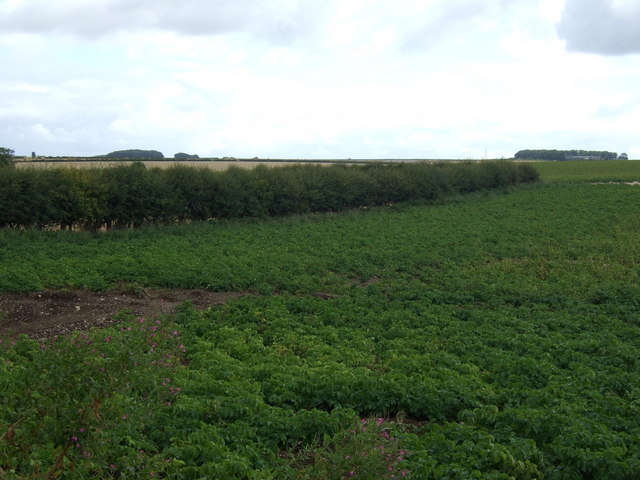 Potato crop and hedgerow