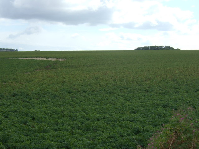 Potato crop south of Grindale
