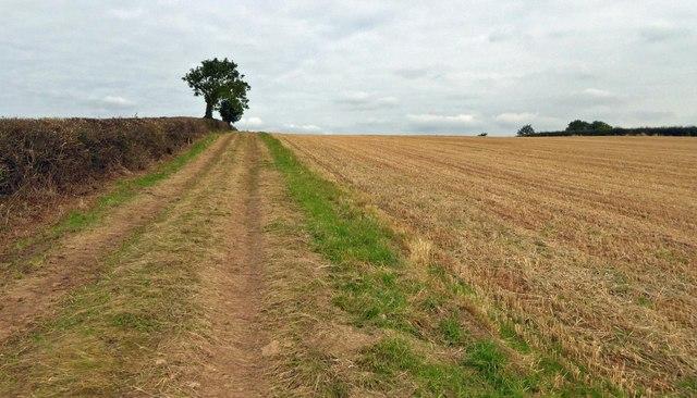 Isolated tree in well maintained farmland hedgerow near Egmanton