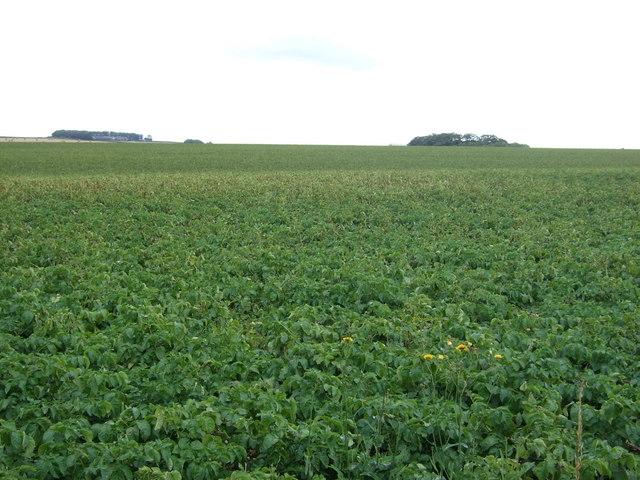 Potato field near Charleston Farm