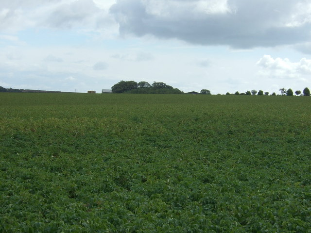 Potato crop towards Charleston Farm