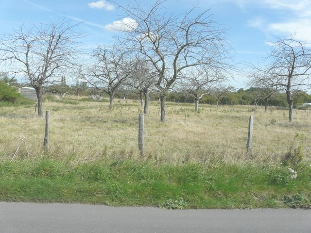 Orchard of dead plum trees