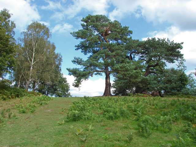 Pine trees, Chinthurst Hill