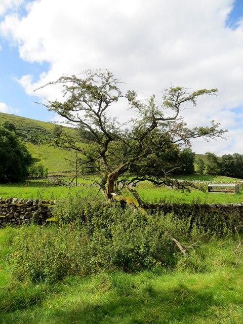 Gnarled old hawthorn