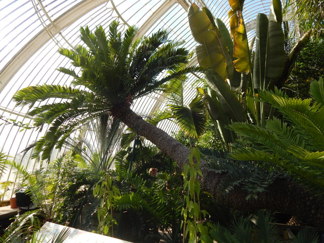 Large Cycad