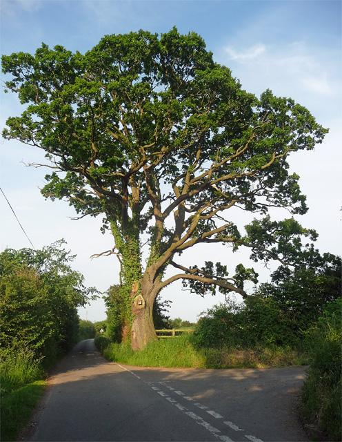 Oak near Mercaston