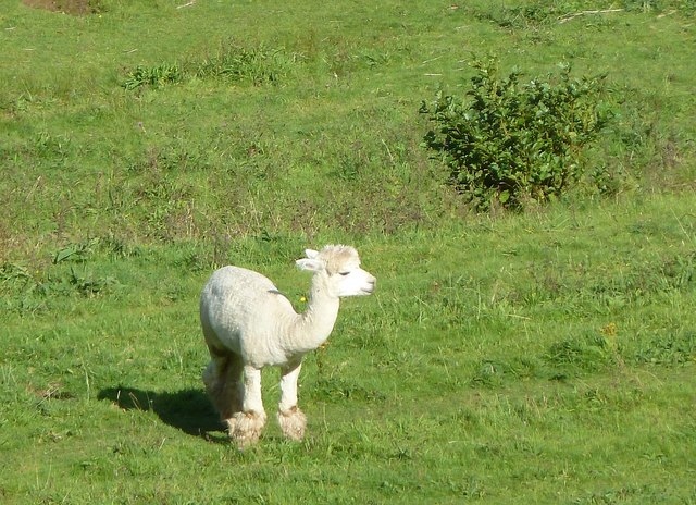 Alpaca in Sterridge Valley