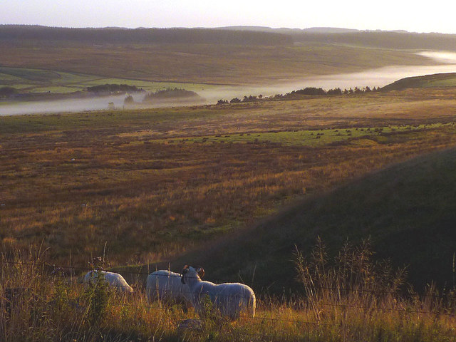 Sheep and early morning mist above the Caw Burn