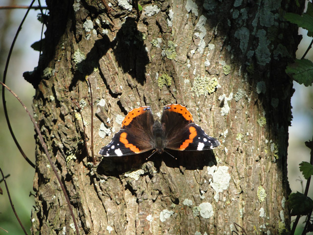 Red Admiral basking in the sun