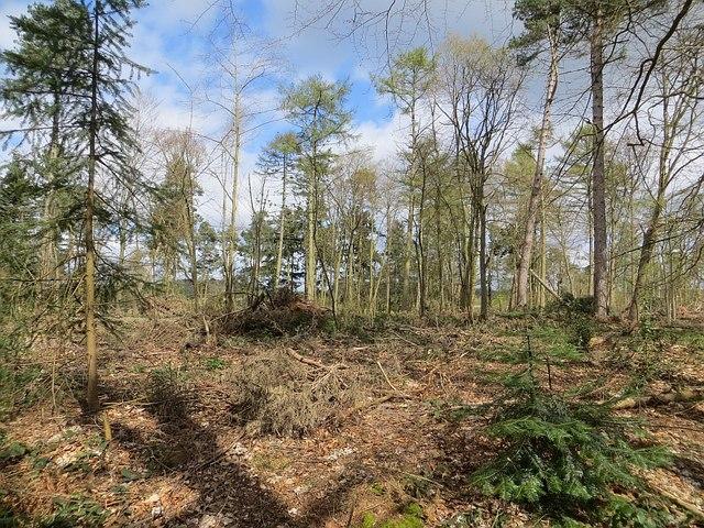 Felled area, Dudmaston Woods