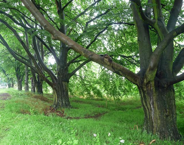 Beeches near Calverton