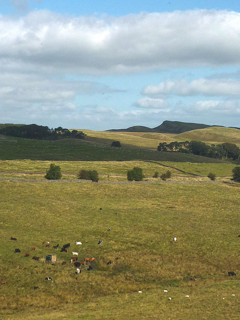 Cattle and sheep grazing, Little Shield