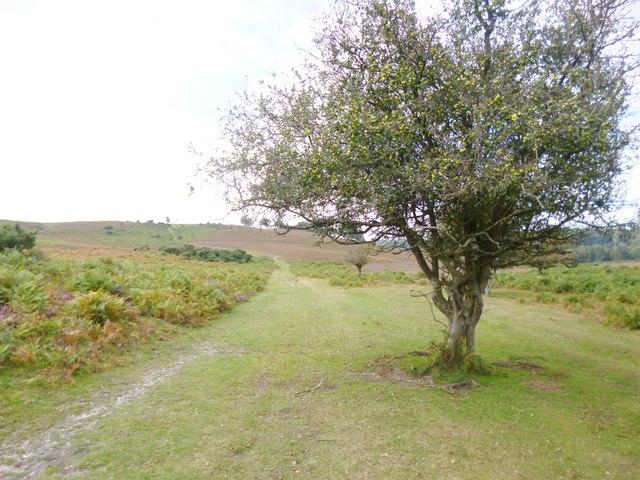 Cunninger Bottom, crab-apple tree