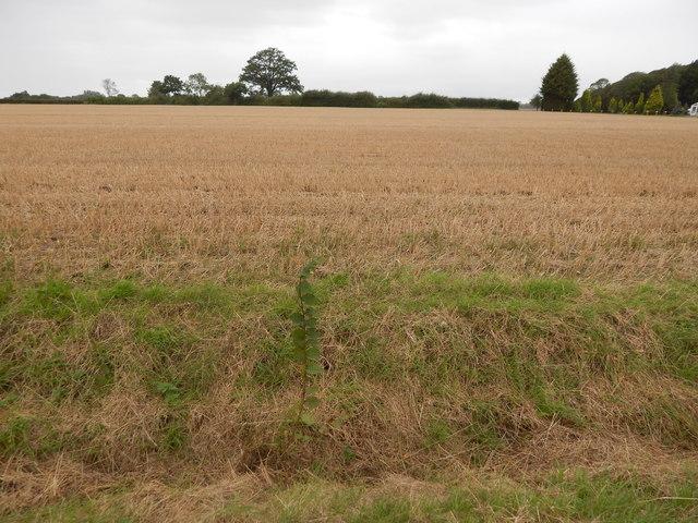Field and Oak Tree