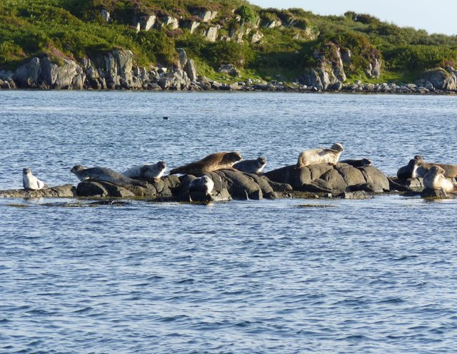 Common Seals on Sgeir nam Ban, Islay