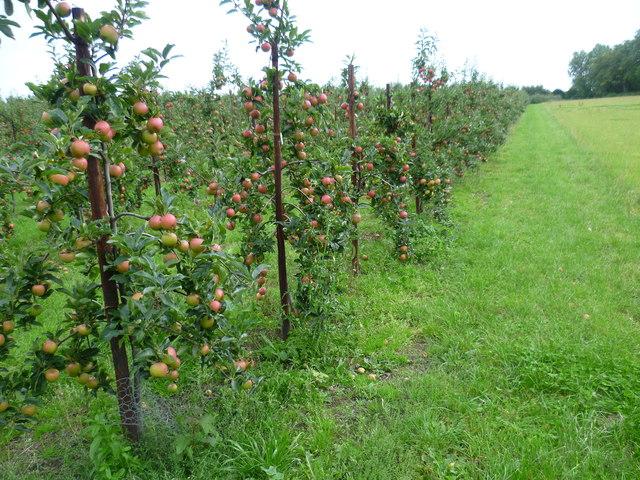 Apple orchards near Egerton