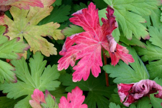 Autumnal geranium leaves, Baltasound