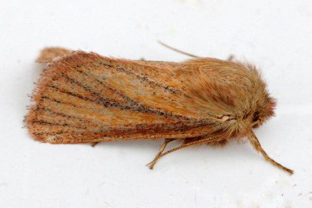 Small Wainscot (Photedes pygmina), Baltasound
