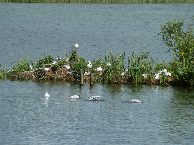 Black-headed Gulls at their gullery at Leighton Moss RSPB Reserve