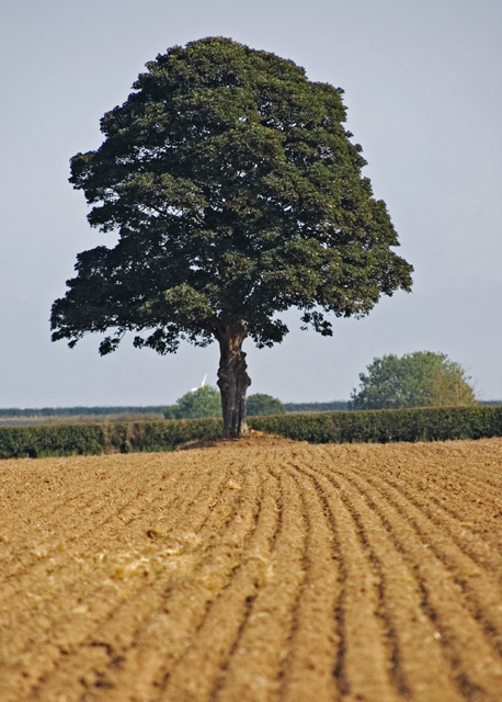 Tree north of Bracken, E. Yorks